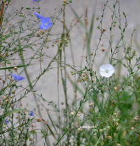 blue and white flax
