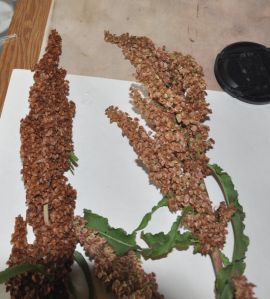 dry and drying dock seed