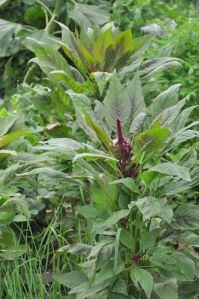 elephant head amaranthus