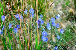 flax flowers b