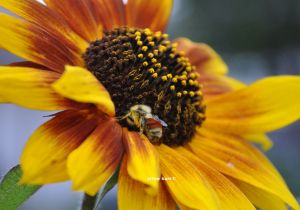 mason bee sunflower