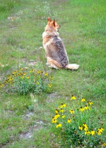 patient Nessie and the yellow prairie coneflowers