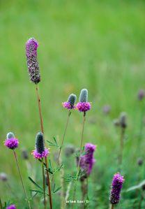 purple prairie coneflower b