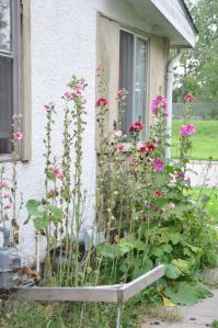 sad hollyhocks again aug 2016
