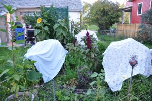 frost-advisory-sept-12-putting-the-garden-to-bed