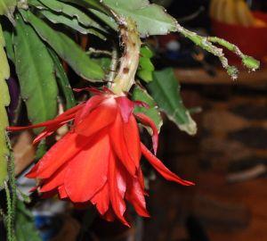 orchid-cactus-sept-2016-c